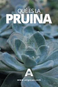 Qué es la pruina de las plantas suculentas o crasas