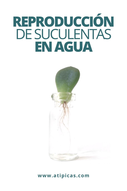 Cómo reproducir suculentas en agua