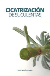 Cicatrización de suculentas y cactus