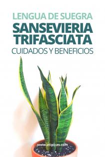 Cómo cuidar la Sansevieria trifasciata o Lengua de suegra