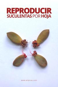 Cómo reproducir suculentas por hoja