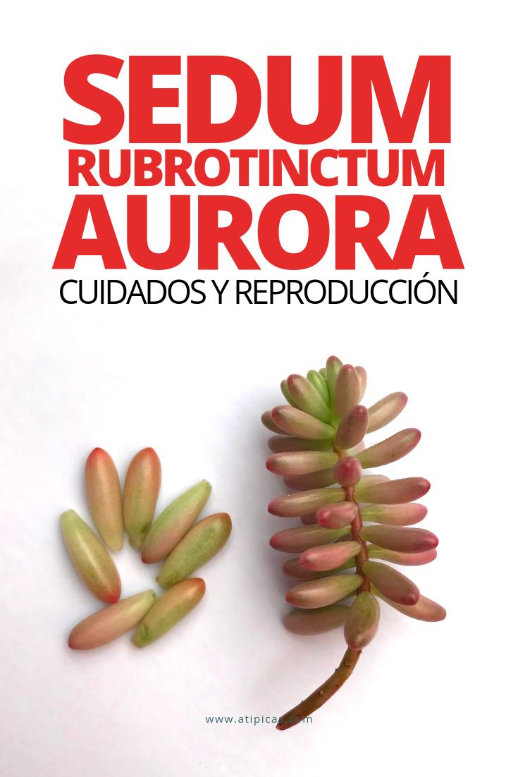 Cómo cuidar y reproducir Sedum rubrotinctum aurora