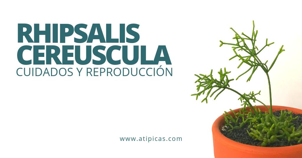 Cómo cuidar Rhipsalis cereuscula