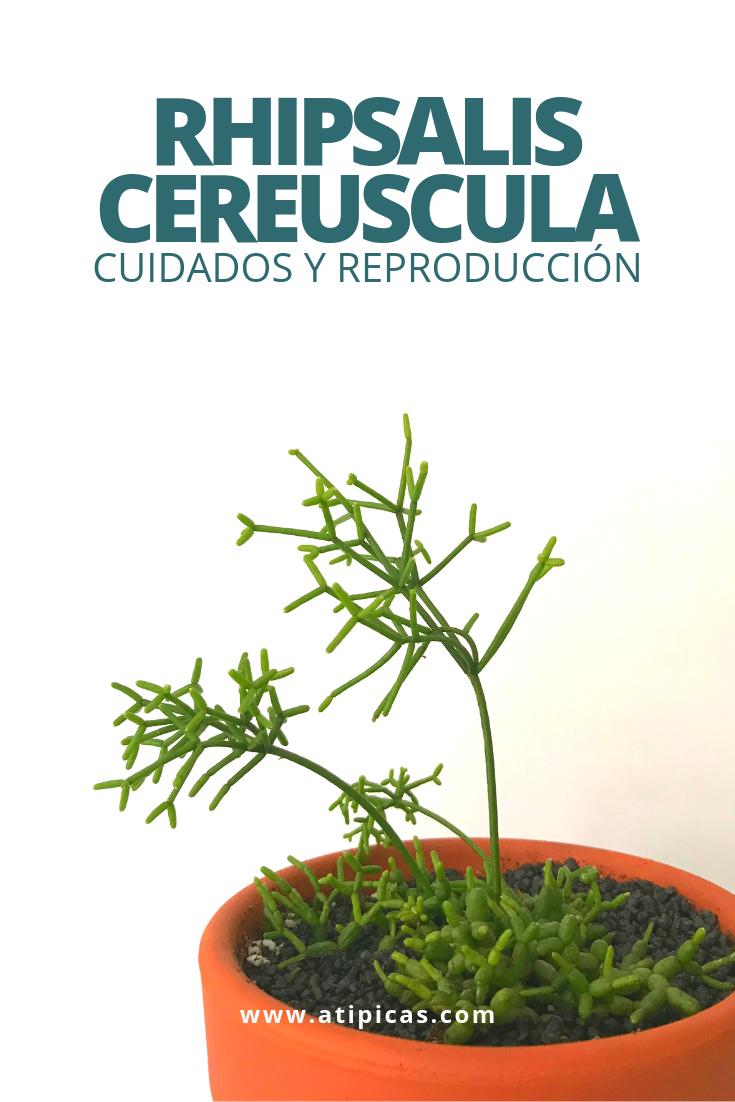 Cómo reproducir Rhipsalis cereuscula