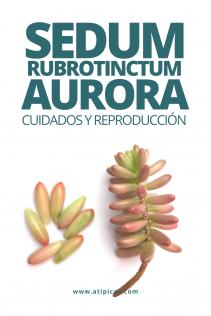 Sedum rubrotinctum aurora: cuidados y reproducción