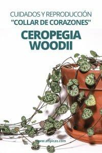 Cómo cuidar y reproducir la Ceropegia Woodii: Collar de corazones