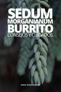 Sedum morganianum 'burrito': cuidados