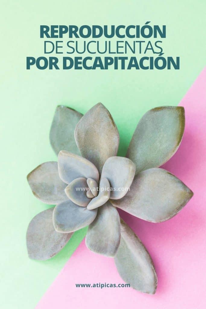 Reproducción de suculentas por decapitación