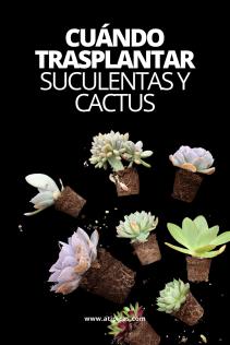 Cuándo y cómo trasplantar suculentas y cactus