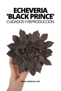 Echeveria Black Prince: cuidados y reproducción